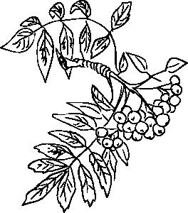 картинки рябины веточки